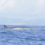 Azores: Océano Atlántico, Delfines y Ballenas