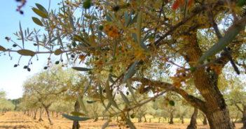 Sierra de Gata. Experiencia de Oleicultor by WOMANWORD